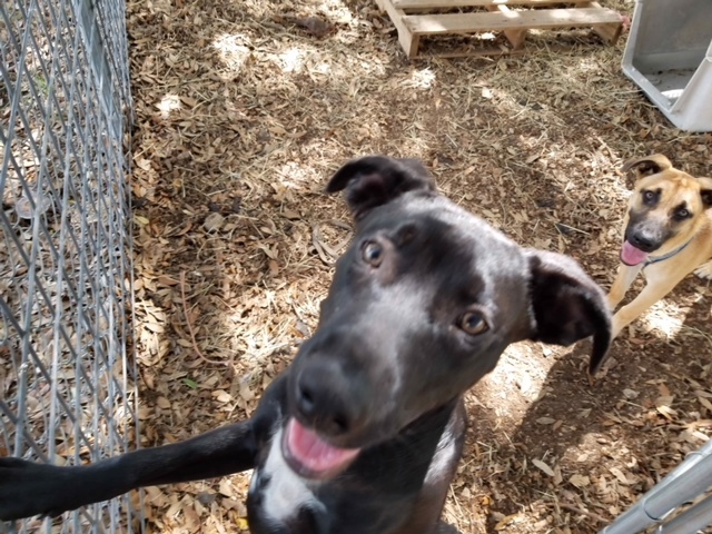 Abby, an adoptable Labrador Retriever Mix in Brenham, TX