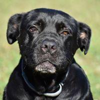 Dog For Adoption Denzel A Cane Corso Rottweiler Mix In Catlett