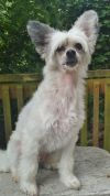 Chinese Crested Dog Dog: Snickers