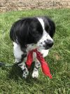 Tibetan Spaniel Dog: Cookie