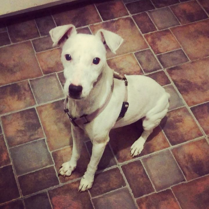 Peewee, an adoptable Parson Russell Terrier in Wilmington, NC