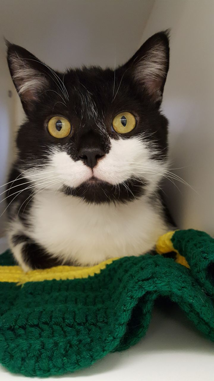 Cowboy, an adopted Domestic Medium Hair Mix in Williamsport, PA