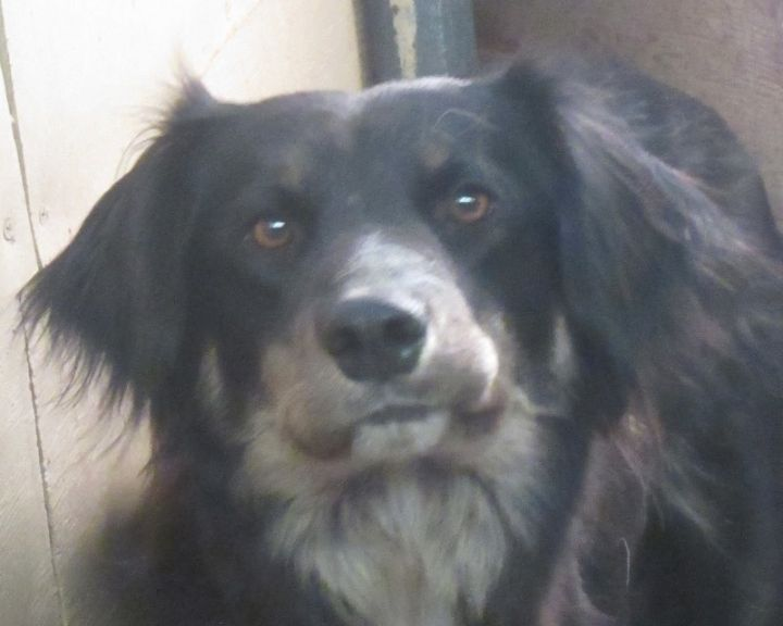 Dog for adoption - Edith, a Border Collie Mix in Goldendale