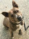 French Bulldog Dog: PAISLEY- Sweet petite miss