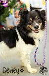 Border Collie Dog: Dewey (formerly Bear)