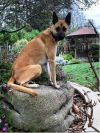 German Shepherd Dog Dog: ~Bella (Privately Owned Contact in Description)