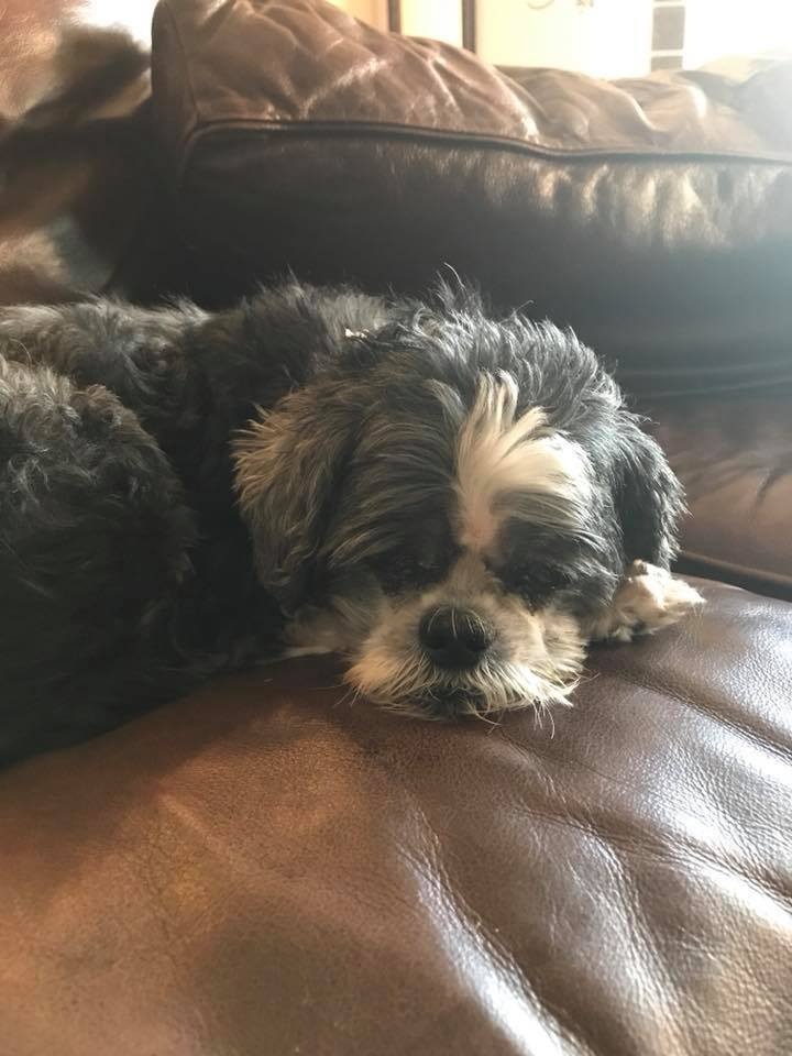 Suzy Q, an adopted Shih Tzu in Plano, TX