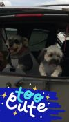 Shih Tzu Dog: Bella and Fritz (bonded)