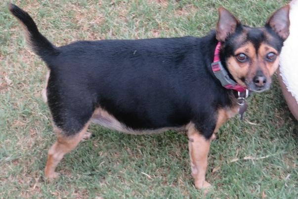 Dog for adoption - Salli, a Miniature Pinscher & Chihuahua