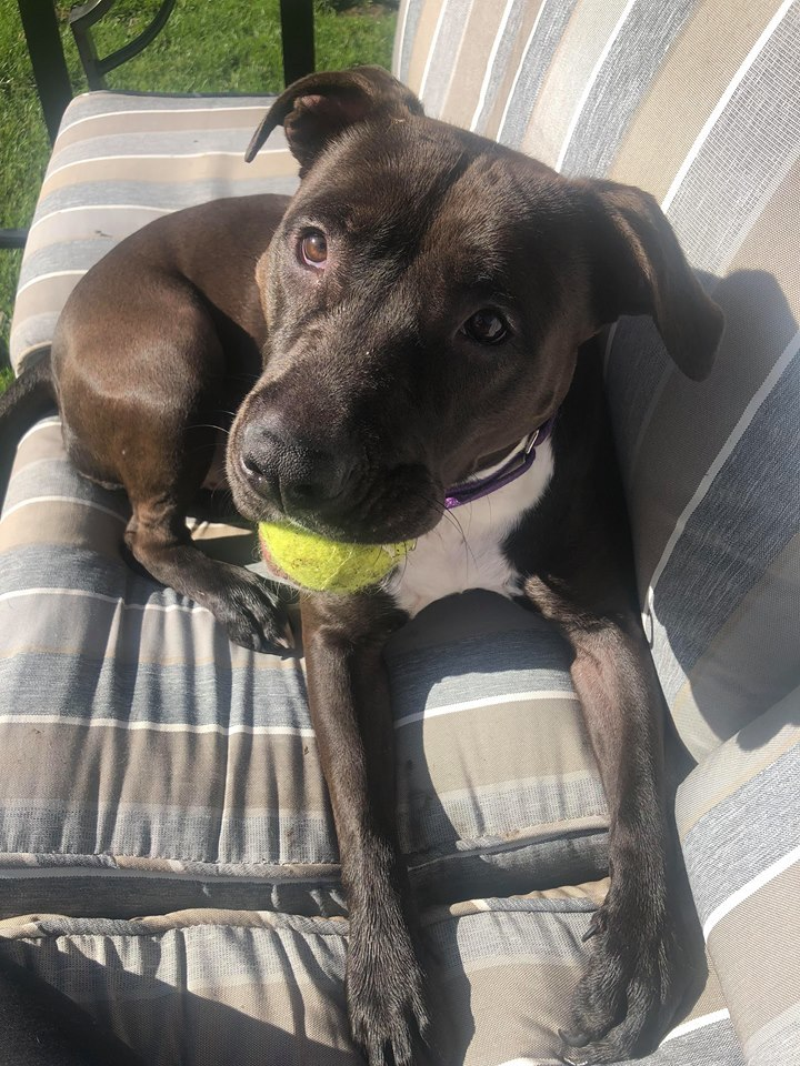 Elsa, an adopted American Staffordshire Terrier & Labrador Retriever Mix in Plainfield, IL