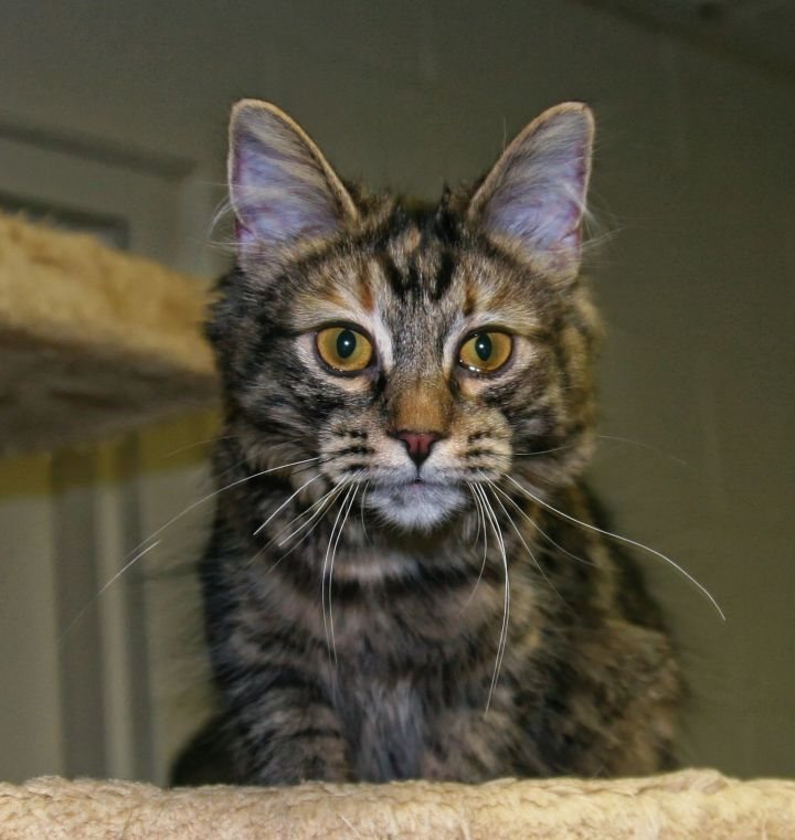 Sparrow, an adopted Domestic Long Hair in Urbana, OH