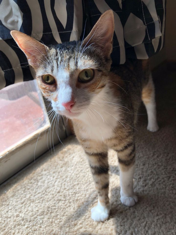 Nina, an adoptable Tabby & Domestic Short Hair Mix in Mission Viejo, CA