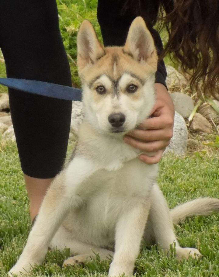 Dog For Adoption Zephyr A Siberian Husky Amp Alaskan
