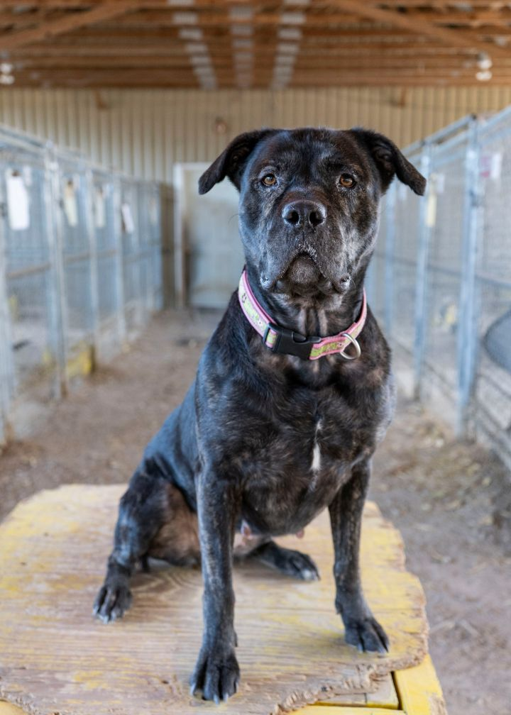 Zoe, an adopted Pit Bull Terrier & Rottweiler Mix in Fort Smith, NT