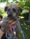 Silky Terrier Dog: Mochi