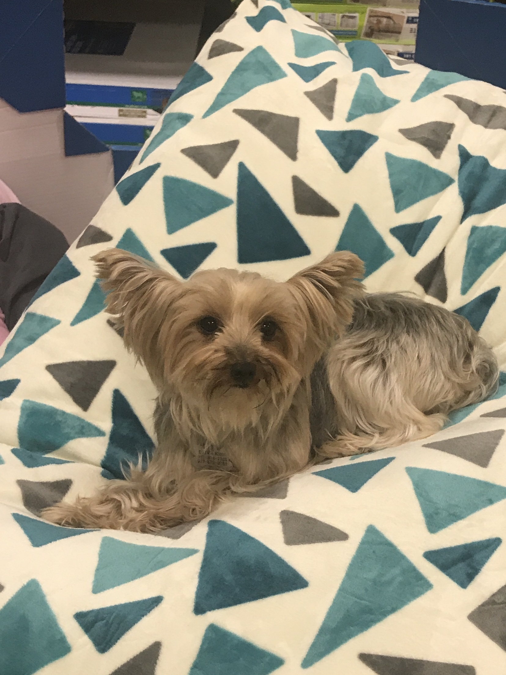 Yorkie Puppies For Sale In Dayton Ohio Nyc
