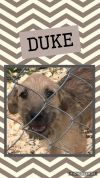 Airedale Terrier Dog: Duke