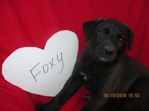 Foxy (Hank the Cowdog)