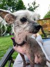 Chinese Crested Dog Dog: Foxy
