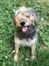 Schnauzer Dog: Belle is a Cancer Survivor!