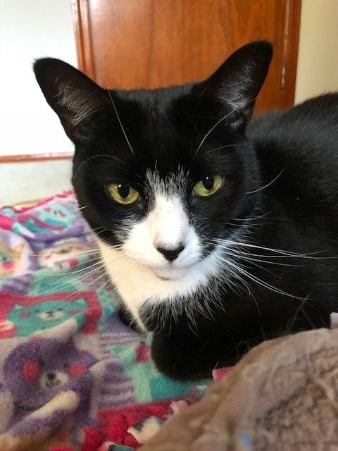 Isabelle (RR), an adoptable Domestic Short Hair in Little Falls, NJ
