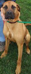 Bullmastiff Dog: Luna