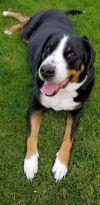 Greater Swiss Mountain Dog Dog: Denali