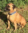 Bullmastiff Dog: TX - Lucca
