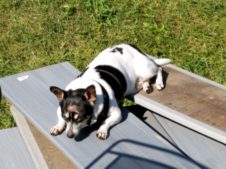 Cricket, an adoptable Rat Terrier & Chihuahua Mix in Conover, NC