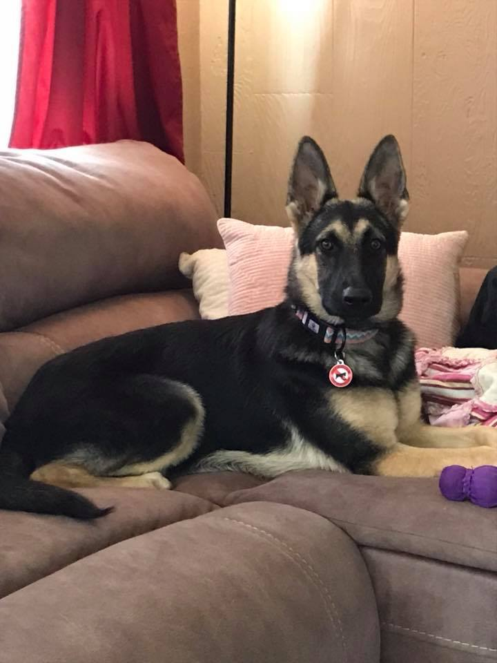 Shadow, an adoptable German Shepherd Dog in Kennewick, WA