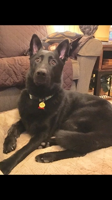 Bear, an adopted German Shepherd Dog in Lodi, WI