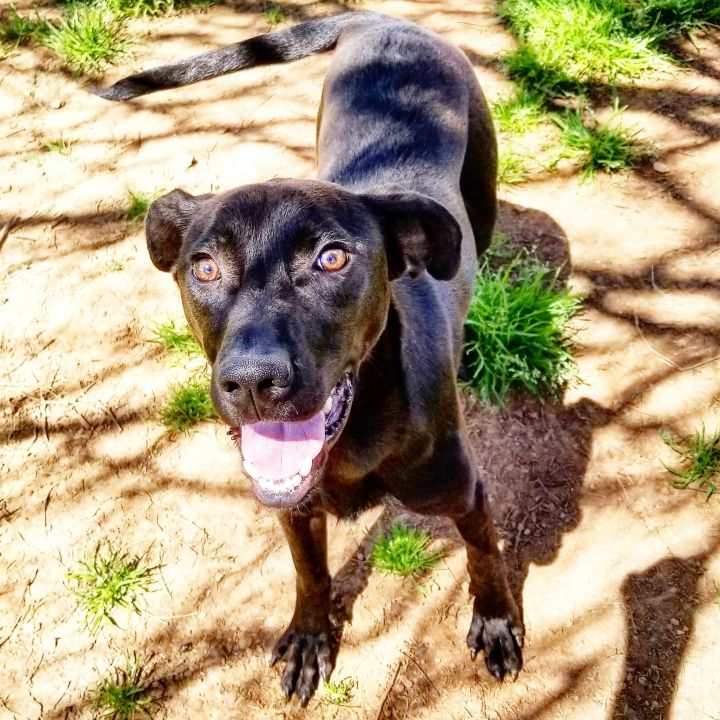 Dog For Adoption Eric A Weimaraner Basset Hound Mix In