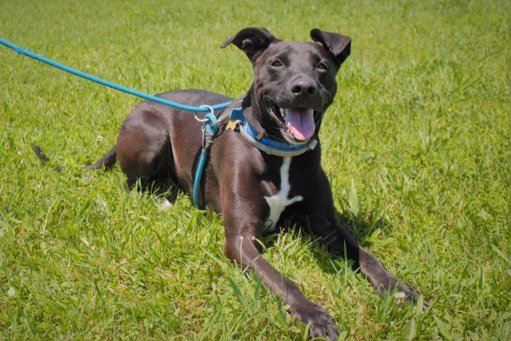 Gracie, an adopted Black Labrador Retriever & Greyhound Mix in Dillsburg, PA