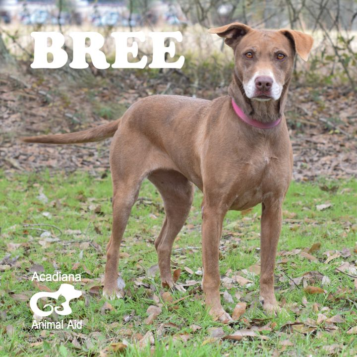 Bree, an adopted Labrador Retriever Mix in Carencro, LA