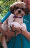 Cavalier King Charles Spaniel Dog: Theo