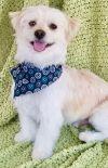Maltese Dog: Barney