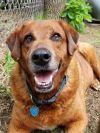 Golden Retriever Dog: Freedom