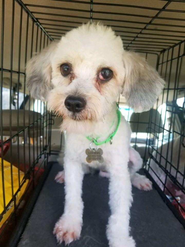 Dog For Adoption Cutler Bay A Havanese In Dayton Oh