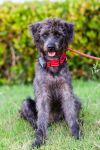 Poodle Dog: Iggie