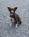 Border Collie Dog: Ruby