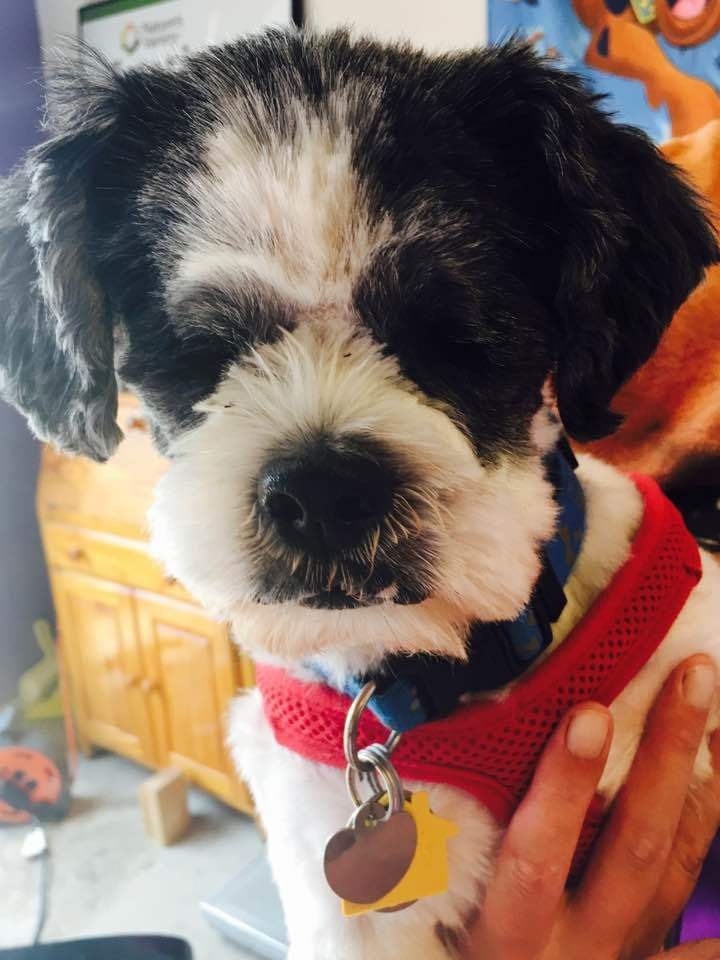 Willie Nelson, an adopted Shih Tzu in Plano, TX