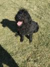 Standard Poodle Dog: Marlin - Fun Guy When He Knows You!