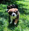 Cavalier King Charles Spaniel Dog: Muffin