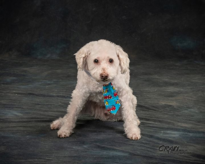 Crouton, an adopted Poodle Mix in Seattle, WA