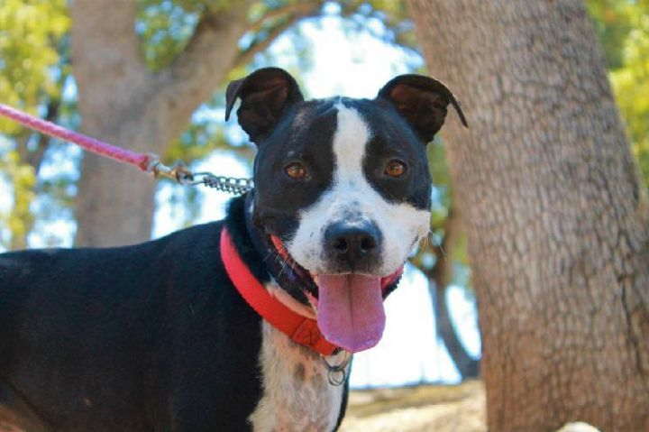 Millie, an adoptable Border Collie & American Staffordshire Terrier Mix in Jamestown, CA