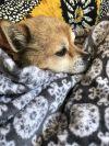 Pomeranian Dog: Jackie