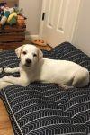 Saint Bernard / St. Bernard Dog: Joe D4291