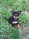 Australian Shepherd Dog: Pheobe