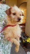 Cairn Terrier Dog: Frankie