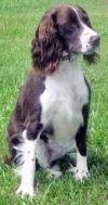English Springer Spaniel Dog: SCOUT - GA